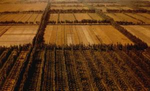 Sistema agroforestale e bordura di terreni agricoli con la Paulownia.